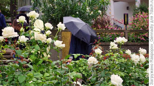 Белые розы под дождем