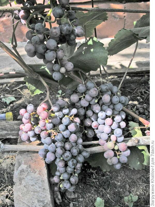 Созревает виноград