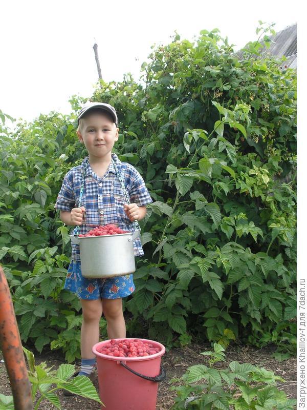 Мы со внуком Артемом собрали малину. Сорт Новость Кузьмина.