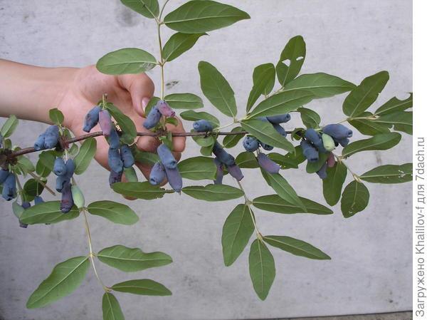 На фотографии плоды жимолости