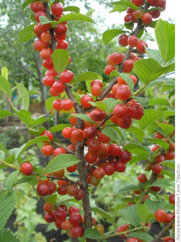 Плодоносящий 4-летний куст войлочной вишни