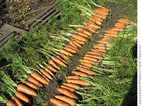 Морковь сорта Шантанэ.
