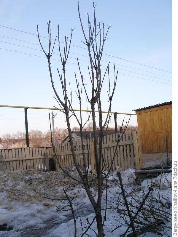 Ветвление колонновидной яблони, после вымерзания зимой