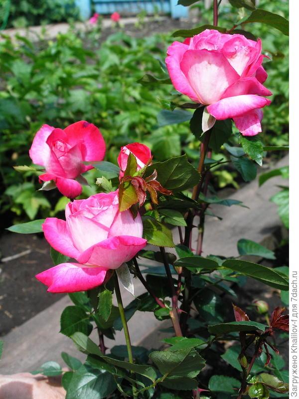 Вот она 26 летняя Болгарская роза из г. Габрово летом 2015 года.