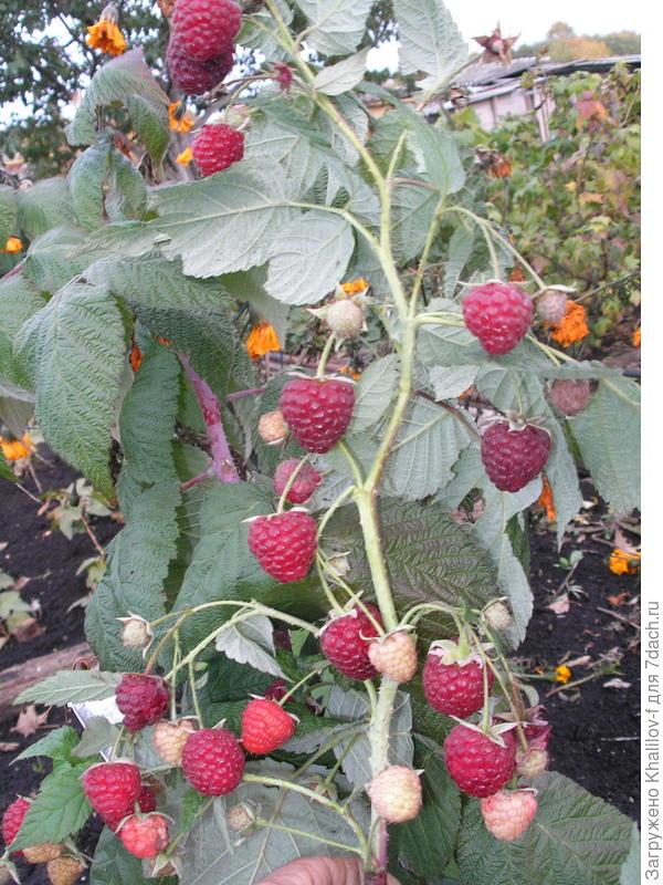 Ремонтантная малина Геракл.На фото и созревшие ягоды, и созревающие, и, даже цветки