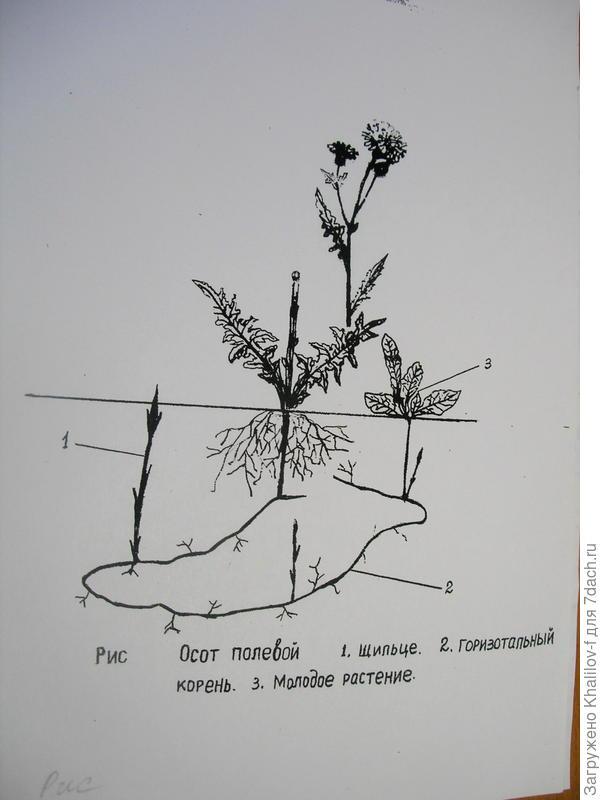 Корнеотпрысковый сорняк, как и вьюн - осот полевой.