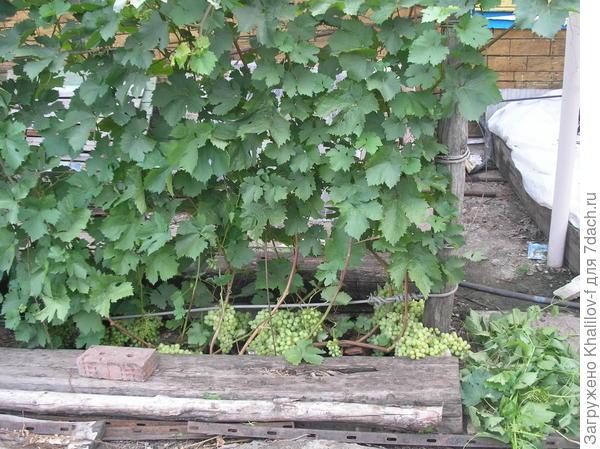 Виноградник. Видны прочный столб и шпалеры