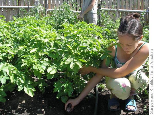 Опыт с удобрением картофеля