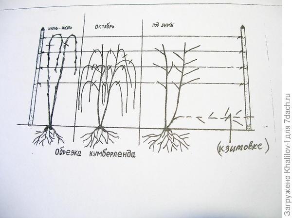 Схема обрезки Кумберенда и Ежевики.