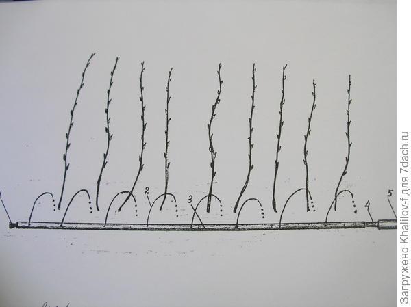 Схема полива ряда малины