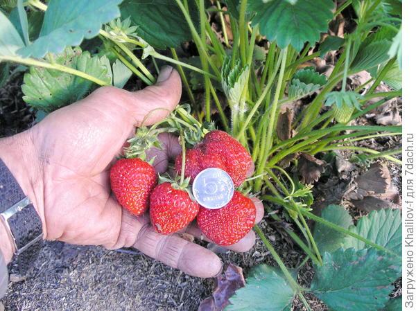 Созрели ягоды сорта Ред-Гонтлит