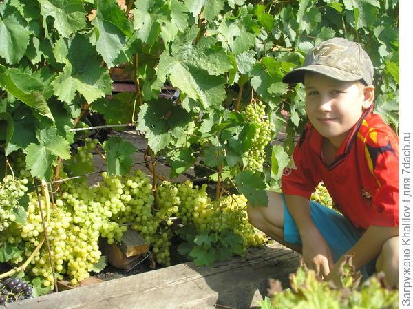 Внук Артем около винограда сорта Алешенькин
