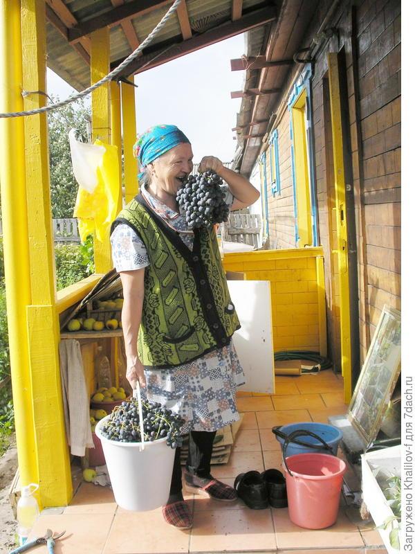 Собираем урожай винограда