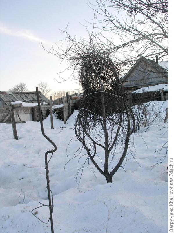 Вишня подготовленная к зиме