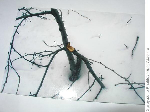 Ветку молодой яблони выдернул оседающий снег