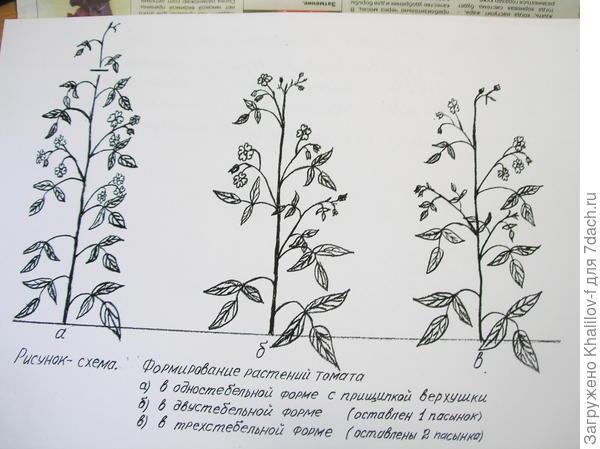 Формирование стебля томата в один, два и три стебля.