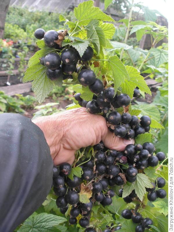 Вот урожайность Экзотики.