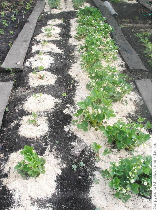 Участок земляники, левый ряд посадки этого года, правый ряд плодоносящий ряд.