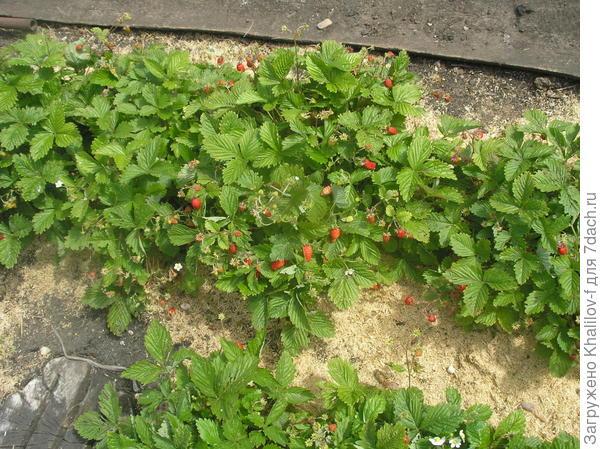 Вот так кустами и сидят. Зимой (зимой!) смогу поделиться с семенами.)