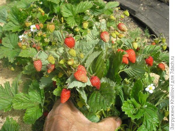 Безусая ремонтантная земляника. Видите, и красные ягоды, и созревающие, и цветы. Очень обильно урожайная.