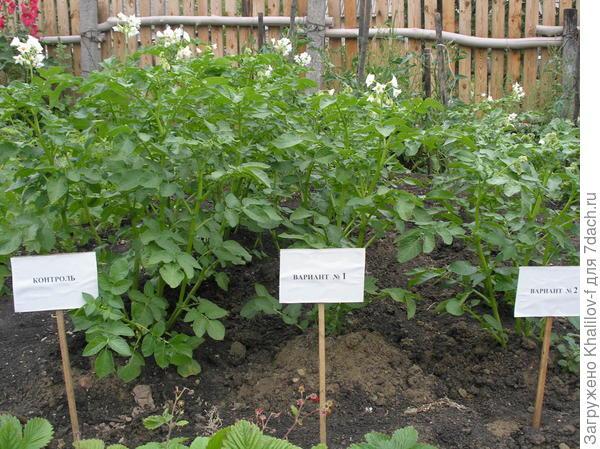 Проводим опыт по испытанию влияния различной глубины посадки на урожайность. Картофель немецкий сорт Адреттасорт А