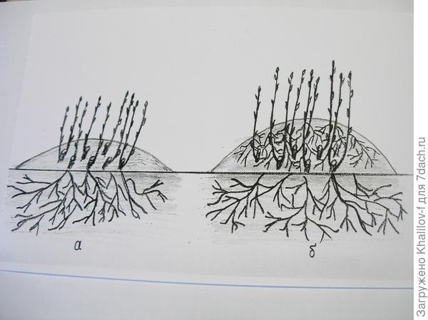 Размножение крыжовника вертикальными отводкакми. а) весна. куст крыжовника продготовлен к размножению. б) Осень каждый прикопанный стебель пустил самостоятельные корни и готов к пересадке.р