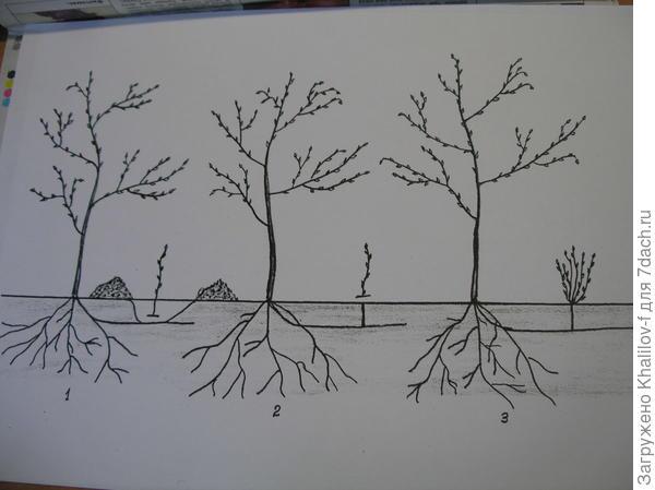 Правильное удаление поросли вишни (схема). 1) Правильное удаление, больше на месте поросель не вырастет. 2) Не правильное. 3) Разрастание поросли после неправильного удаления поросли.