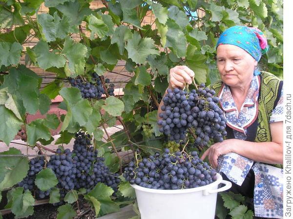 Сбор урожая винограда. Черный сорт Агат Донской.
