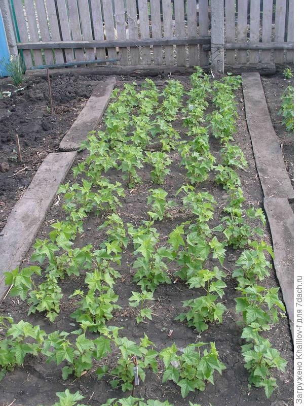 Черенки зазеленели и растут