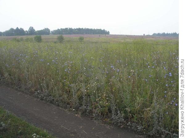 На заднем плане около лесочка, розовое поле, это гектары Иван чая.