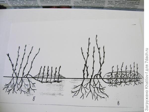 Размножение горизонтальными отводками. а) Весной пригнули, но не засыпали. б) Когда побеги из каждой почки выросли в высоту 12-15 см, мы их окучили и постоянно хорошо поливаем. К осени они пускают собственные корни. К