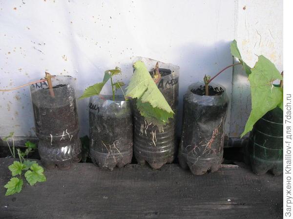 """Вот уже на черенках появляются корни. Как только показались корни, такие """"полторашки уже выставляю на свет, правда, не на солнышко а в тень."""""""