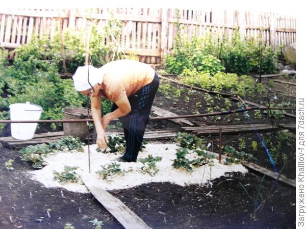 Готовим землянику к плодоношению, чтобы созревающие ягоды не лежали на земле.