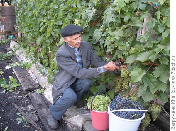 Уборка урожая винограда.