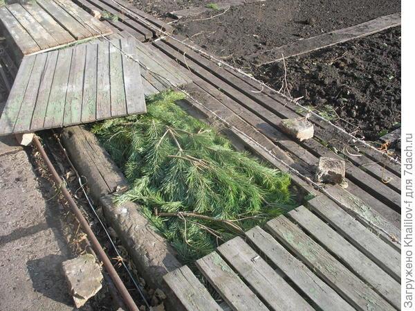Один из щитов приоткрыл, чтобы показать укрытие лозы сосновым лапником