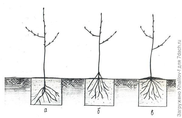 а) не правильно: корневая шейка и стволик сильно заглублены; б) не правильно, слишком мелкая посадка; 3) правильная посадка, после полива почва осядет и корневая шейка окажется вровень с поверхностью почвы.