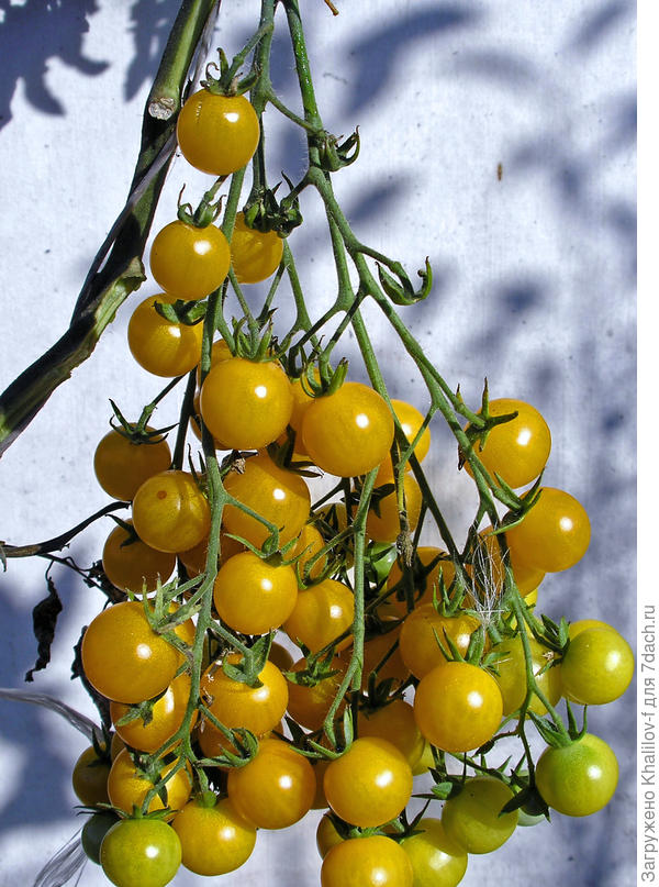 Кисть томата Вишня желтая