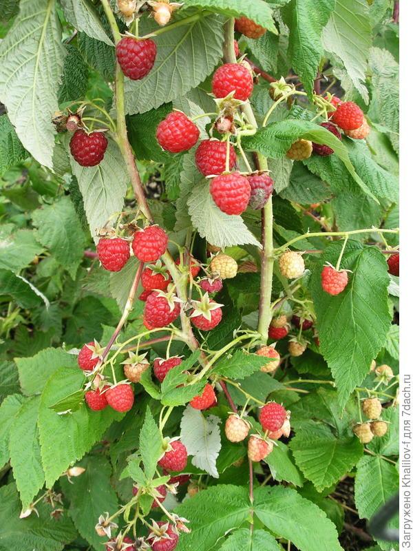 Ремонтантная малина Геракл. Одновременно и красные ягоды и краснеющие и увеличивающиеся в размерах и даже цветки.: эта малина отдыха не знает. А урожай какой обильный: все на виду, без прикрас.