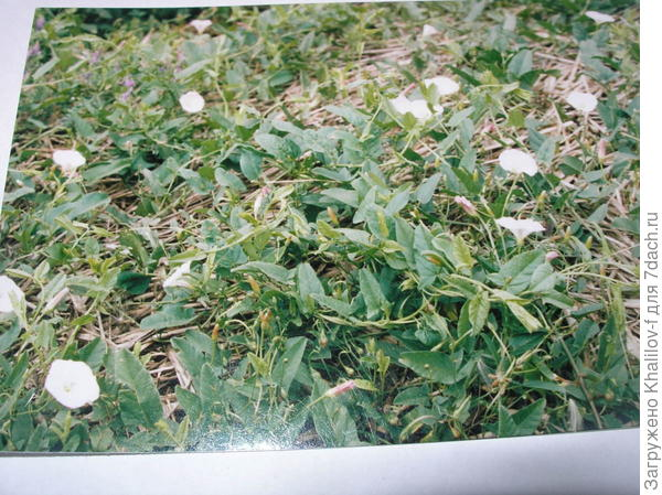 Вьюнок полевой, в нашей местности еще называют Березка.
