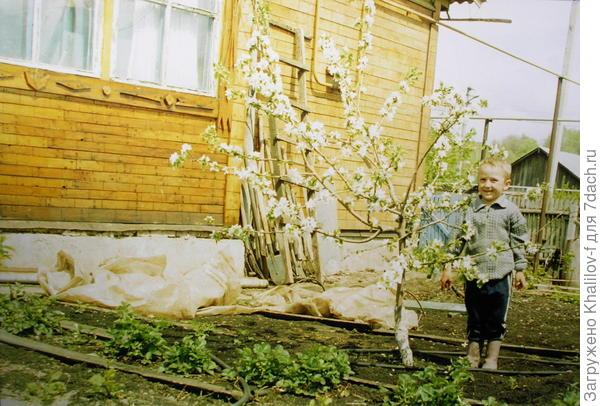 """Карликовая яблоня на парадизке 62-396. Рядом, """"для масштаба"""" сосед Азатик 4-5 лет. Весна, яблоня вся в цвету."""