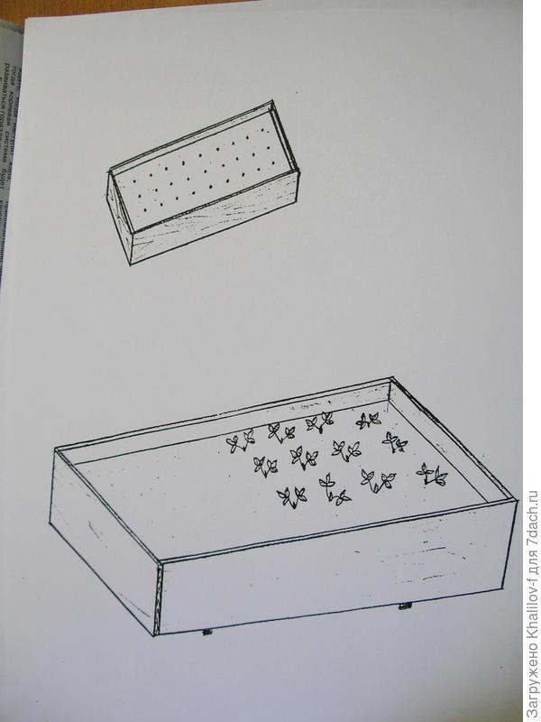 Размножение безусой землянике в рассадном ящике. В первом ящике посеянные семена, во втором уже распикированные.