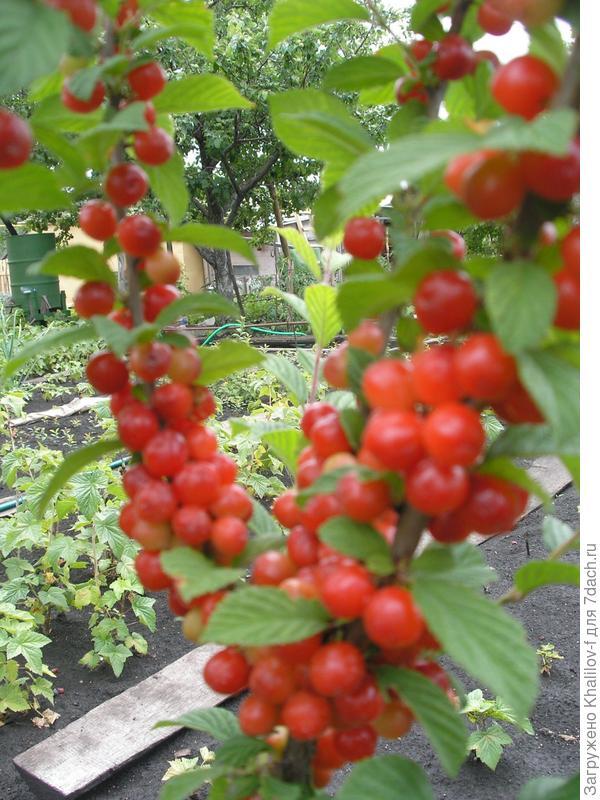Созрели ягоды войлочной вишни.