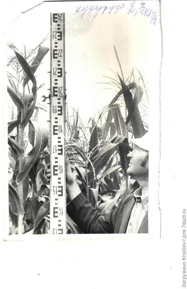 Кукуруза.....