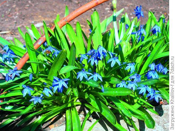 Эти цветы у нас зацветут к 25 апреля.