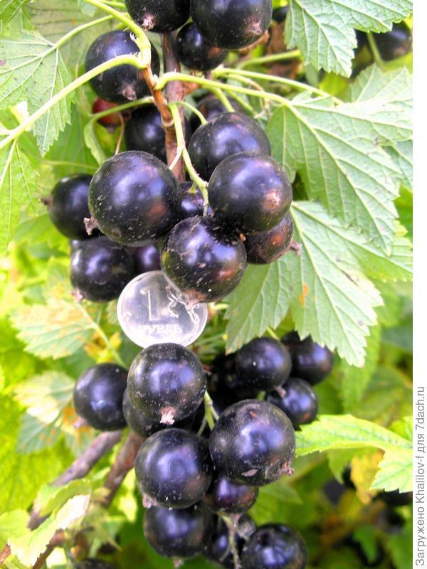 У сорта Экзотика ягоды очень крупные (рубль для масштаба)
