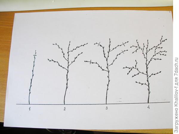Схема двойной обрезки побега малины. 1) первая обрезка в начале лета, когда побег достиг высоты 70-100 см. 2) ветвление побега малины к осени после первой обрезки. 3) вторая обрезка побега рано весной второго года. 4) вторичное ветвление побега к моменту плодоношения. Побег превратился в настоящий куст и видно какой там будет урожай.