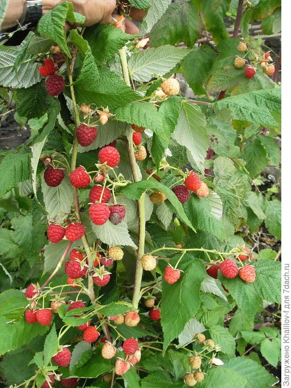 Александр, видите, малина ремонтантная, то есть, есть только образовавшиеся ягоды, и большие белые, и краснеющие, и созревшие, а побег видите, зелёный, выросший в этом году.
