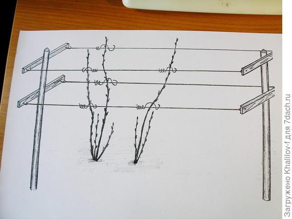 Схема обрамления куста шпалерами.