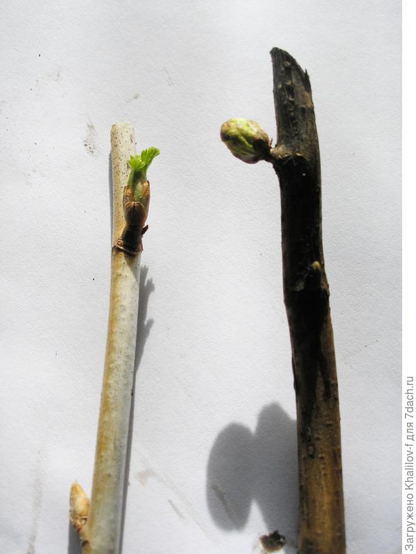 Слева НЕ повреждённые почки; справа века с повреждённой почкой. Она округлая и не распускается.