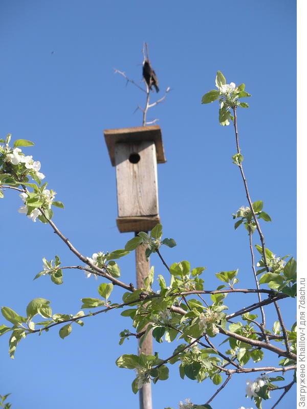 Весенняя гостья довольна жильём. (ветки яблони просто проектируются близко, они в 4-5 метрах от скворечницы.)
